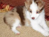 Champion Bred Flashy Tiny Toy Red Merle Female w/ Two