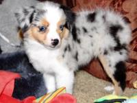 Flashy Champion Bred Small Toy Blue Merle Female w/ Two