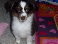 Toy Australian Shepherd. C.K.C. reg. with papers. -