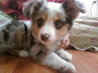I have a toy Australian Shepherd available as a stud
