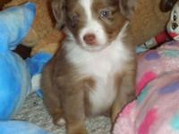 Plaything Australian Shepherds. C.K.C. reg. with