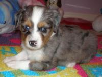 Toy Australian Shepherd. C.K.C. reg. with documents. -