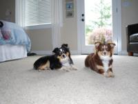 Beautiful Red Tri Australian Shepherd puppies for sale.