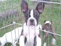 Toy size Baby Boston Bulldog guy puppy. Not 30 or 40
