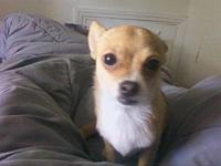 Spayed and Micro-chipped male Toy Chihuahua around 5