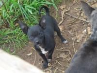 Toy Chihuahua Female puppy, Reg. CKC. If seriously