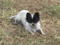 Toy Chihuahua CKC Long Coat Female. Downsizing, she