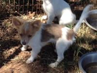 Toy Chihuahua CKC Long Coat puppies, Male (one female