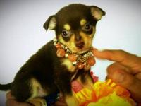 Two beautiful chihuahua puppies. puppies have been