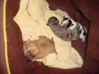 2 toy chihuahua new puppies. one red fox shade one red