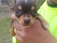 Teacup Chihuahua Puppies For Sale For Sale In Georgia Classifieds