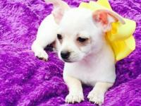 I have five adorable chihuahua puppies they are 8 weeks