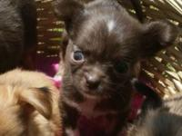 I have 5 super tiny Chihuahua pups ready for there new