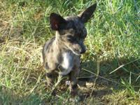Toy Short Coat Male Chihuahua Merle Puppy CKC. Adult