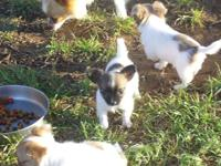 Toy Chihuahua CKC Long/Short Coat puppies, Males.