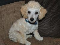 I have a 12 week old male toy creme colored poodle. He