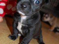 She is a sweet black deer head toy chihuahua pup.She is