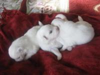 Beautiful purebred Toy Eskis snow white 2 male & & 1