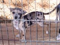 Blue/Fawn Merle Toy Chihuahua Female Puppy CKC. Short