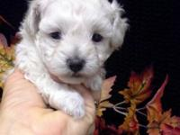 TOY POODLE. WEIGHT EXPECTED TO BE 5 TO 7 LBS GROWN. CKC