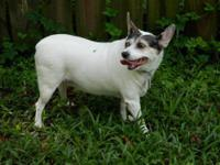 Toy Fox Terrier - Chloe - Small - Senior - Female -
