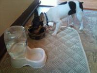 toy fox terrier he is 4 1/2 months he is register he