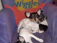 Beautiful, healthy TFT puppies. Registered with AKC and