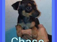 Chase is a sweet tri color Toy Fox Terrior. He has his