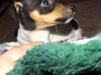 Adorable and loving Male toy fox terrier puppy. This