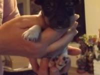 Gorgeous little tri-colored female toy fox terrier