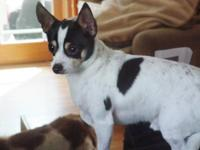 Toy Fox Terrier - Snickers - Small - Baby - Male - Dog