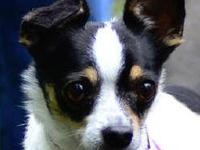 Toy Fox Terrier - Trey - Small - Young - Male - Dog
