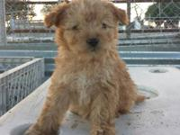 ADORABLE, TOY FRENCH POODLE PUPPIES!! 8 weeks old