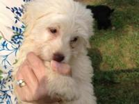 Beautiful mulligen toy Labradoodle puppy with all