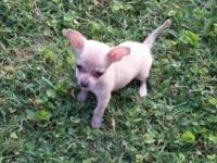 Toy Male Chihuahua Up to date shots/dewormed Ready