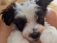 Adorable Male Morkie that will be 8 weeks this