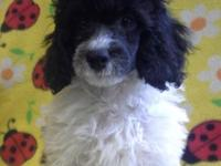 TOY POODLES 11 WKS OLD. HAS ALL PUP SHOTS. WORMED. CKC