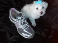 I have female and male blue-gray eye toy maltese