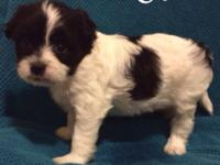 Adorable puppy shih tzu and Maltese mix, male. He is