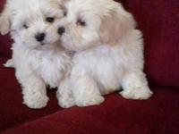 Toy Malti Poo pups, gorgeous apricot babies, mother is