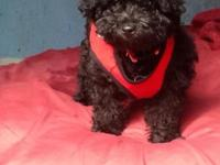 Toy MaltIpoo male puppy ready for his forever home. He