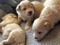 These 3 puppies are extremely cute and will have