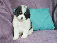 I have 1 Male and 2 Female Maltipoo puppies looking for