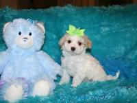 These gorgeous Maltipoo babies are over 8 weeks old and
