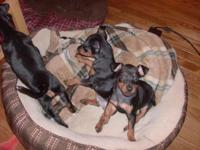 We have a litter of Manchester terrier dogs. Will
