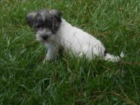 Toy Mauzer Pups, 5 available, males and