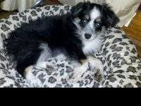 Toy/Mini Aussie pups born May 3rd, They are registered