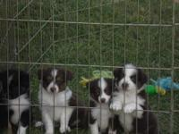 For Sale: Three red male tri and one black tri male