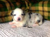 We have 2 left from this litter. A blue Merle male and