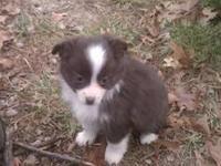 TOY / MINI Australian Shepherd puppies FOR SALE. BORN